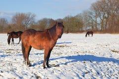 Старая лошадь на выгоне зимы Стоковое Изображение