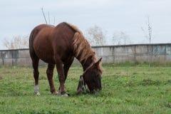Старая лошадь при белокурые волосы окруженные травой Стоковые Изображения RF