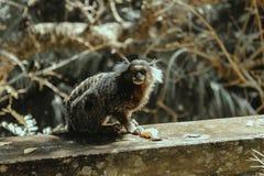Старая мудрая обезьяна Стоковая Фотография RF
