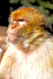 старая обезьяна в Африке Марокко естественном Стоковое Фото
