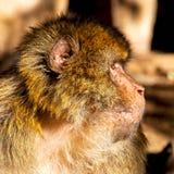 старая обезьяна в Африке Марокко и конце фауны естественной предпосылки Стоковые Изображения RF