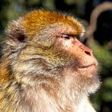 старая обезьяна в Африке Марокко и конце фауны естественной предпосылки Стоковая Фотография