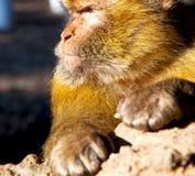 старая обезьяна в Африке Марокко и конце фауны естественной предпосылки Стоковое Изображение RF