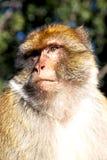 старая обезьяна в конце Африки Марокко вверх Стоковая Фотография RF