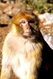 старая обезьяна в предпосылке Африки Марокко Стоковые Изображения