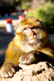 старая обезьяна в фауне Африки Марокко Стоковые Изображения RF