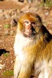 старая обезьяна в фауне предпосылки Африки Марокко Стоковая Фотография RF