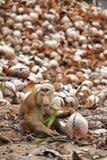 Старая обезьяна и сухой кокос Стоковое Изображение RF