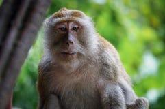 Старая обезьяна смотря в другом месте Стоковое Фото