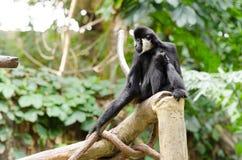 Старая обезьяна Стоковая Фотография RF