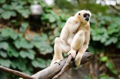 Старая обезьяна Стоковая Фотография