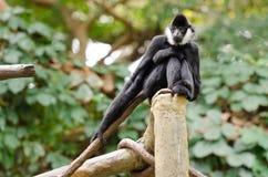 Старая обезьяна Стоковые Изображения