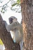 Старая обезьяна Vervet сидя в дереве Стоковые Изображения