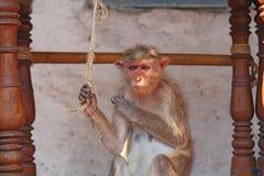 Старая одичалая обезьяна, Hampi Стоковая Фотография RF