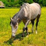 Старая лошадь в луге Стоковое Фото
