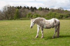 Старая лошадь в лужке с одуванчиками Стоковое фото RF