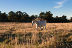 Старая лошадь на выгоне Стоковые Изображения