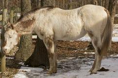 Старая лошадь Appaloosa спать в солнечности Стоковое Фото