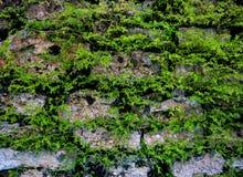 Старая предпосылка стены с зелеными растениями Мшистая деревенская текстура фото крупного плана каменной стены Стоковые Фото