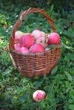 Старая плетеная корзина с розовыми яблоками на зеленой траве Стоковые Изображения