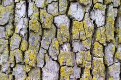 Старая расшива дерева с мхом Стоковое Изображение RF