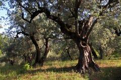Старая роща оливкового дерева стоковые изображения rf