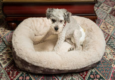 Старая серая собака нося пеленку doggy стоковое фото