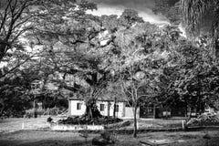 Старая смоковница стоковые фотографии rf