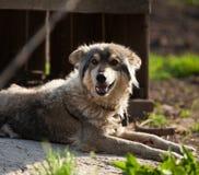 Старая собака лежа на том основании, против предпосылки старой древесины Стоковые Фото
