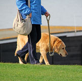 Старая собака на walkies Стоковая Фотография RF