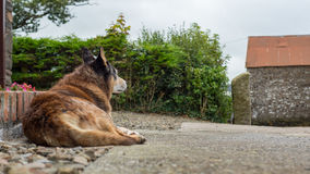 Старая собака с унылыми глазами Стоковое Изображение