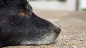 Старая собака с унылыми глазами Стоковое фото RF