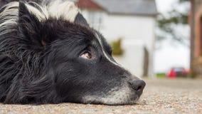 Старая собака с унылыми глазами Стоковое Изображение RF