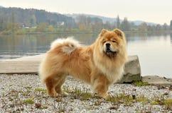 Старая собака чау-чау стоя рядом с озером Цюрих Стоковая Фотография