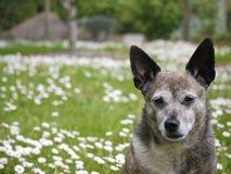 Старая собака стоковое изображение rf