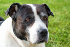 Старая собака Стоковое Фото