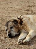 Старая собака shepperd стоковая фотография rf