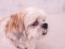 Старая собака Shih-Tzu Стоковая Фотография