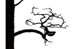 Старая сосенка с curvy ветвью Стоковые Изображения RF