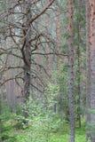 Старая сосна в лесе Стоковые Изображения