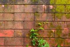 Старая стена с лозой и мхом стоковое изображение