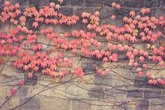 Старая стена с покрытый с красным зеленым и оранжевым плющом выходит veitchii tricuspidata parthenocissus стоковые фотографии rf