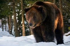Старая стойка бурого медведя в лесе зимы Стоковые Фотографии RF