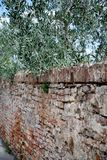 Старая тосканская стена с оливковым деревом разветвляет висящ над стороной Стоковые Изображения RF