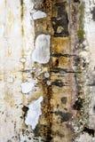 Старая тухлая кирпичная кладка с лишайником на стене Стоковые Изображения RF