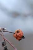 Старая тухлая смертная казнь через повешение яблока на ветви Стоковое Изображение