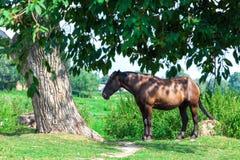 Старая утомленная лошадь около дерева Стоковая Фотография RF
