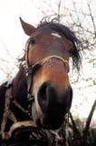 Старая утомленная лошадь Стоковые Изображения
