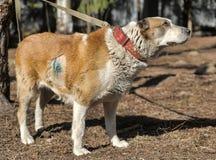 Старая центральная азиатская собака чабана Стоковое Фото