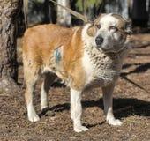 Старая центральная азиатская собака чабана Стоковое фото RF